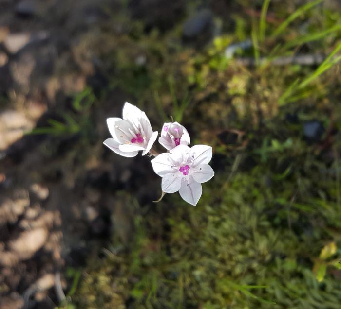 california native allium