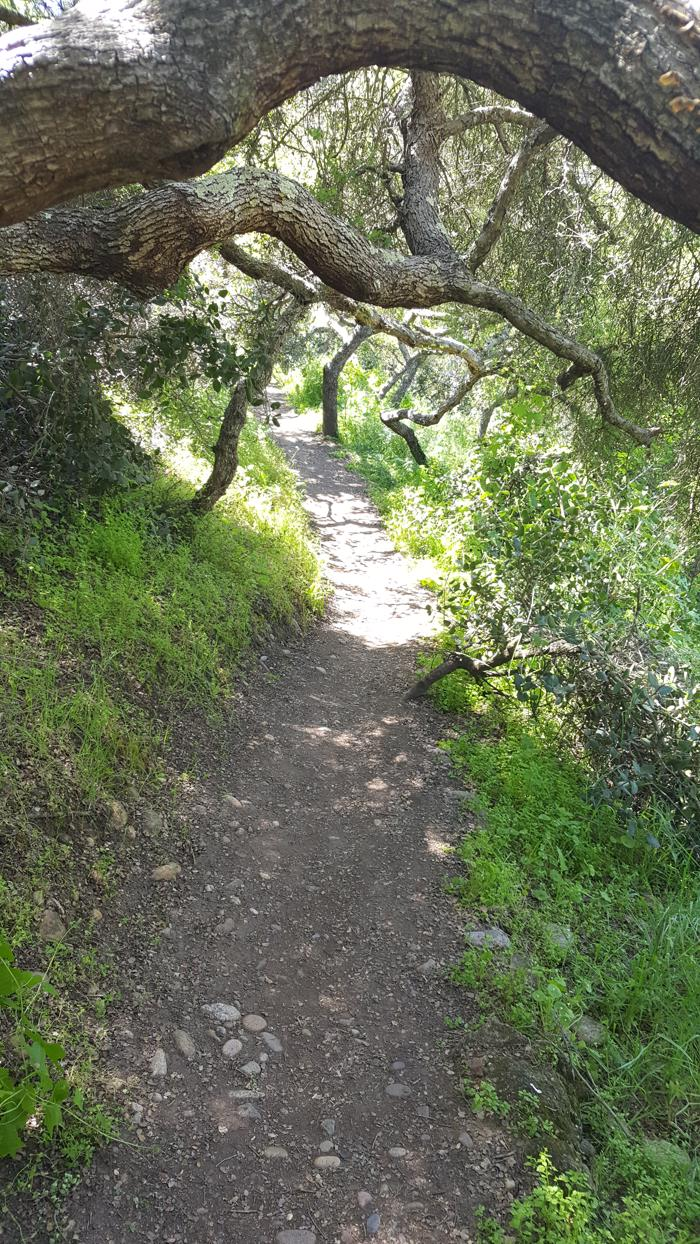 path through california native oaks