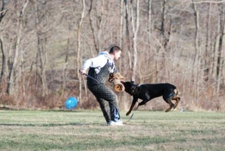 My dog Zeus, sent out for a bite in Schutzhund.